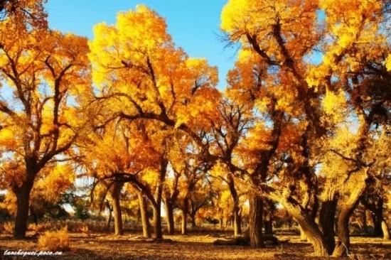 胡杨是唯一能在沙漠中生长的乔木树种